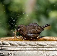 Splish (Stu thatcher) Tags: thatcher stuart blackbird bird uk water bath fast shutter speed birds wet splash britain england english worcester worcestershire