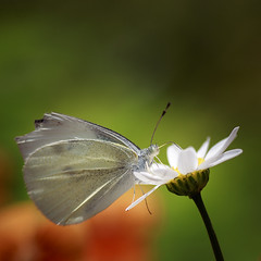 Cabbage Butterfly (Johnnie Shene Photography(Thanks, 2Million+ Views)) Tags: cabbagebutterfly butterfly commonbutterfly whitebutterfly lepidoptera square photography outdoor colourimage fragility freshness nopeople foregroundfocus adjustment fulllength depthoffield feeding animal insect bug feeler interesting awe wonder bokeh spring day daylight macro closeup magnified wings limbs nature natural wild wildlife livingorganism daisy flower flora floral sideview lighteffect parallel surfacelevel head headshot stockphoto stunning fabulous gorgeous elegance tranquility canon eos80d 80d tamron 90mm f28 11 lens 배추흰나비 흰나비 나비 꽃 봄 봄꽃 매크로 접사