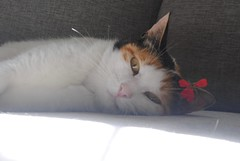 the sunshine is on the sofa (Lallupyon) Tags: cat cutie pie purrfect flower sunshine