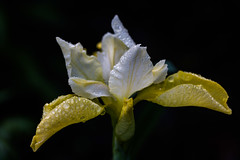"Iris 2017 • <a style=""font-size:0.8em;"" href=""http://www.flickr.com/photos/136407547@N03/35208121096/"" target=""_blank"">View on Flickr</a>"