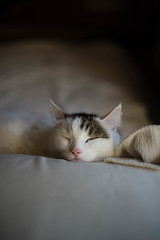 catnap (Nazra Z.) Tags: white tabby munchkin cat male sleeping bed pillow natural light home love comfortable okayama japan 2017 raw spring