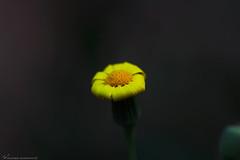His shyness خجله (mosa3ad alshetwi) Tags: زهرة صفراء السعودية زهور طبيعه سفر رحلات ربيع اخضر سماء ضوء طبيعي الشمس sunlight yellow green garden nature ngc natunal tree travel saudi