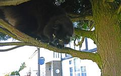 Happy Caturday! (Caulker) Tags: cat vaska tree frontgarden 16062017
