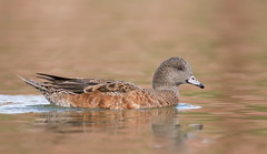 American Wigeon papago park az (mandokid1) Tags: canon 1dx canon500f4 ef400mmdo birds duck waterfowl arizona