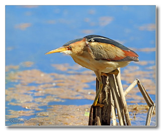 103A3856-DL   Petit blongios / Least Bittern.