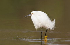 Snowy Egret posing Gilbert water ranch az (mandokid1) Tags: canon canon500f4 1dx birds egrets arizona