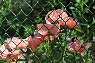 Poppy Fence HFF