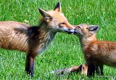 DSC_0772 (rachidH) Tags: fox renard vulpes foxcub renardeau redfox renardroux vulpesvulpes backyard frontyard wildlife sparta newjersey nj rachidh nature