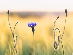 Enjoying the light (Petr Horak) Tags: agriculture bokeh olympus flora blossom flower blooming weed czechia nature field