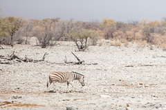 Veld : Zebra 4105 (Ursula in Aus) Tags: africa equuszebra etosha etoshanationalpark namibia mountainzebra plainszebra zebra