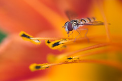 Syrphidae (pdechaumont) Tags: insect nature no person outdoors flower summer flora fly animal syrphidae colors macro proxi nikon d3200 sigma105 pistil orange hémérocalle daylily wings bokeh