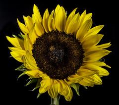 Sunflower In The Light (Bill Gracey 15 Million Views) Tags: sunflower fleur flor flower color colorful yellow offcameraflash homestudio roguegrid softbox yongnuorf603n yn560 macrolens tabletopphotography blackbackground nature naturalbeauty
