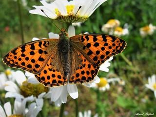 Butterfly 1332