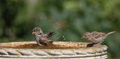 Last one in is a rotten egg! (Stu thatcher) Tags: bird uk water bath fast shutter speed birds wet splash britain england english worcester worcestershire