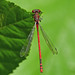 Damsel Fly (Gaz-zee-boh) Tags: damselfly waterlowpark london n6 nature insect almostanything