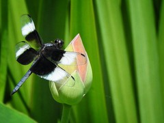 DRAGONFLY (Lisa Plymell) Tags: lisaplymell nikon coolpixp900 nature dragonfly lotusflower