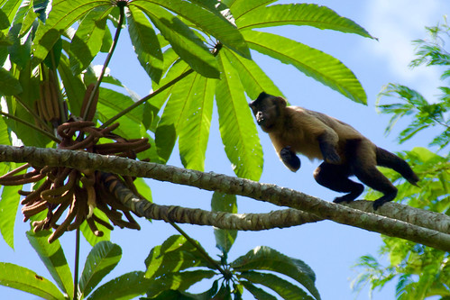 brazil-amazon-cristalino-lodge-jumping-monkey-copyright-thomas-power-pura-aventura