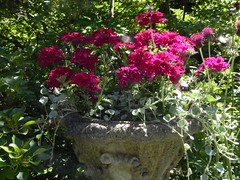 Annual Verbena in my urn. (Safia girl) Tags: container annuals urn verbeva