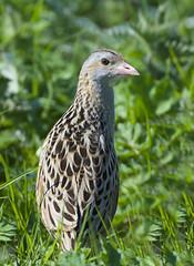 Corn Crake (J J McHale) Tags: corncrake crexcrex crake bird nature wildlife