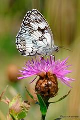 Le demi-deuil vous salue (jpto_55) Tags: demideuil papillon macro bokeh fleur xe1 fuji fujifilm fujixf55200mmf3548rlmois hautegaronne france