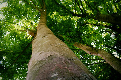 Bokeh tree... (Maria Godfrida) Tags: bokeh blur nature green brown tree foliage treetrunk trunk flora wormseyeview frogperspective outdoor garden dof hbw bokehwednesday bokehwednesdays