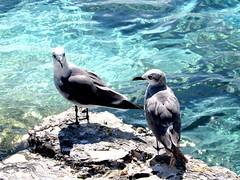Twins (thomasgorman1) Tags: gulls seabirds seagulls water beach sea island caribbean mexico isla mujeres nature birds canon rock ledge lavarock