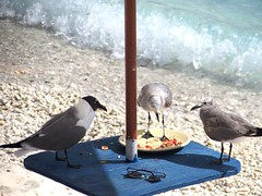 Free meal (thomasgorman1) Tags: gulls birds table food scavengers scraps leftovers beach water sea isla island canon caribbean pests