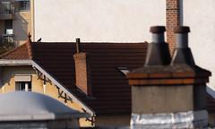 Lucky (CaroDiario) Tags: toits cheminée pigeon oiseau fauneurbaine urbanwildlife explorationurbaine urbanexploration panasonicdcgh5 lumixgvario100300mmf4056