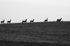 Follow the leader (adam_moralee) Tags: blackwhite black white bw nature deer wildlife wild life pack heard field country countrylife villagelife village adammoralee adam moralee nikond7100 nikon d7100 150500mm tamron lens silhouette follow leader