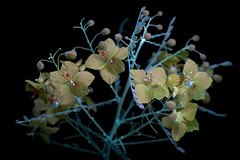 Palo Verde (C. Burrows) Tags: palo verde desert museum flower tree