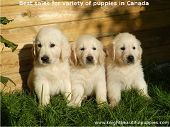 Best-sales-for-variety-of-puppies-in-Canada (knightbeautifulpuppies) Tags: puppies yorkshireterrier chihuahuapuppies labradorretrieverpuppies frenchbulldogpuppies kitspuppies germanshepherdpuppies americanpitbullterrier