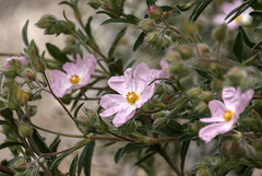 Palest of Pink (ChrisKirbyCapturePhotography) Tags: cistus rockrose palepink pink flower springflower chriskirbycapturephotography