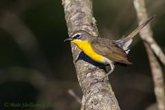Yellow-breasted Chat (Matt Shellenberg) Tags: yellowbreasted chat bird yellow yellowbreastedchat