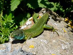 sunday little zoo reptiles et batraciens (3) (canecrabe) Tags: lézard vert bleu lacertabilineata hauteloire lecros
