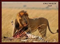 KING OF THE JUNGLE (Panthera leo)....MASAI MARA......SEPT,2016 (M Z Malik) Tags: nikon d3x 200400mm14afs kenya africa safari wildlife masaimara keekoroklodge exoticafricanwildlife exoticafricancats lionking leo flickrsbigcats ngc