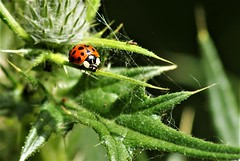 Ladybird (dlanor smada) Tags: ladybirds insects thistles webs spiderwebs