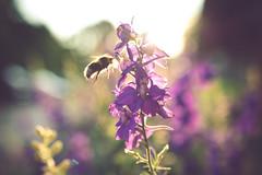 Busy buzzing (sue.konvalinkova) Tags: bumblebee hardworking summer sunset goldenhour nature flowers purpleflower busy nikon light sigmaart nikond750 creamy mutedcolours