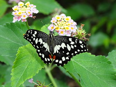 Butterfly House (antonè) Tags: butterfly farfalla insetto olmedo alghero butterflyhouse fiori lantana papillon mariposa sardegna sardinia antonè