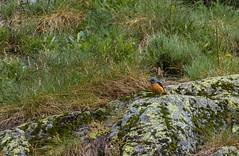 Monticole de roche (JeanJoachim) Tags: monticolederoche monticolasaxatilis commonrockthrush passeriformes muscicapidae turdidae merlederoche oiseau bird vogel aves uccello fågel fugl pássaro バード lintu птица ptak pentaxk5iis smcpentaxda300mmf4edifsdm steinrötel