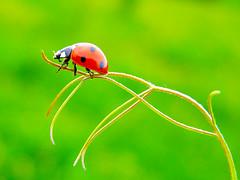 (Alin B.) Tags: alinbrotea nature spring summer ladybug ladybird green red
