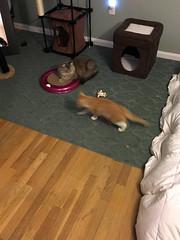 iPhone 3965 (mary2678) Tags: tewksbury massachusetts ma kitty kitten cat maine coon chele kvothe