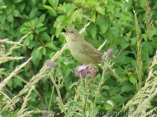 Delighted to have found this gorgeous Grasshopper Warbler today, felixstowe suffolk  ❤ Record shot!