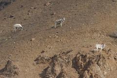 Dall Sheep (Baractus) Tags: denali np dall sheep john oates alaska us