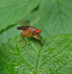 Tangy (Bricheno) Tags: renfrew insect macro bug bricheno szkocja scozia schottland scotland scoția escocia escòcia écosse 蘇格蘭 स्कॉटलैंड σκωτία fly