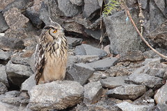 Indian Eagle-owl (harshithjv) Tags: bird birding owl rock rockeagleowl eagleowl bubo bengalensis aves avian chordata strigiformes strigidae canon 600d tamron bigron g2 hampi karnataka india