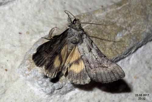 Catocala eutychea (ToPet)