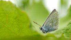 Blue Delight (jurgenkubel) Tags: fjäril schmetterling polyommatini blåvinge insekt djur animal tier natur insect sommar summer sommer olympus macro butterfly