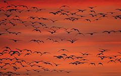 Snow Geese in Flight at Sunset (Sharon_Norman) Tags: bosquedelapache avian snowgeese snowgeeseinflight birdsinflight flockofbirds flockofsnowgeese sunset orange