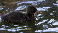 a black duck chick (1) : moving in the shadow of trees (Franck Zumella) Tags: dark black duck chick poussin noir sombre shadow lac lake eau water bird oiseau