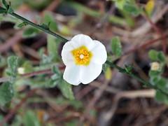 Sun rose (AMoska) Tags: natureza nature flora flores flowers estevinha rockrose salviifolius cistus quintaflower floralfantasy passionflower